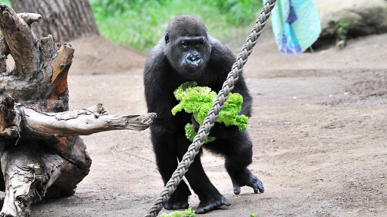 Patenschaft für Gorilla Kwame