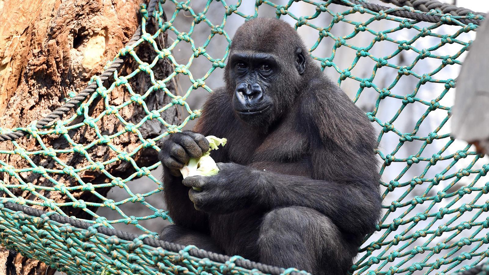Besuch bei Gorilla Kwame
