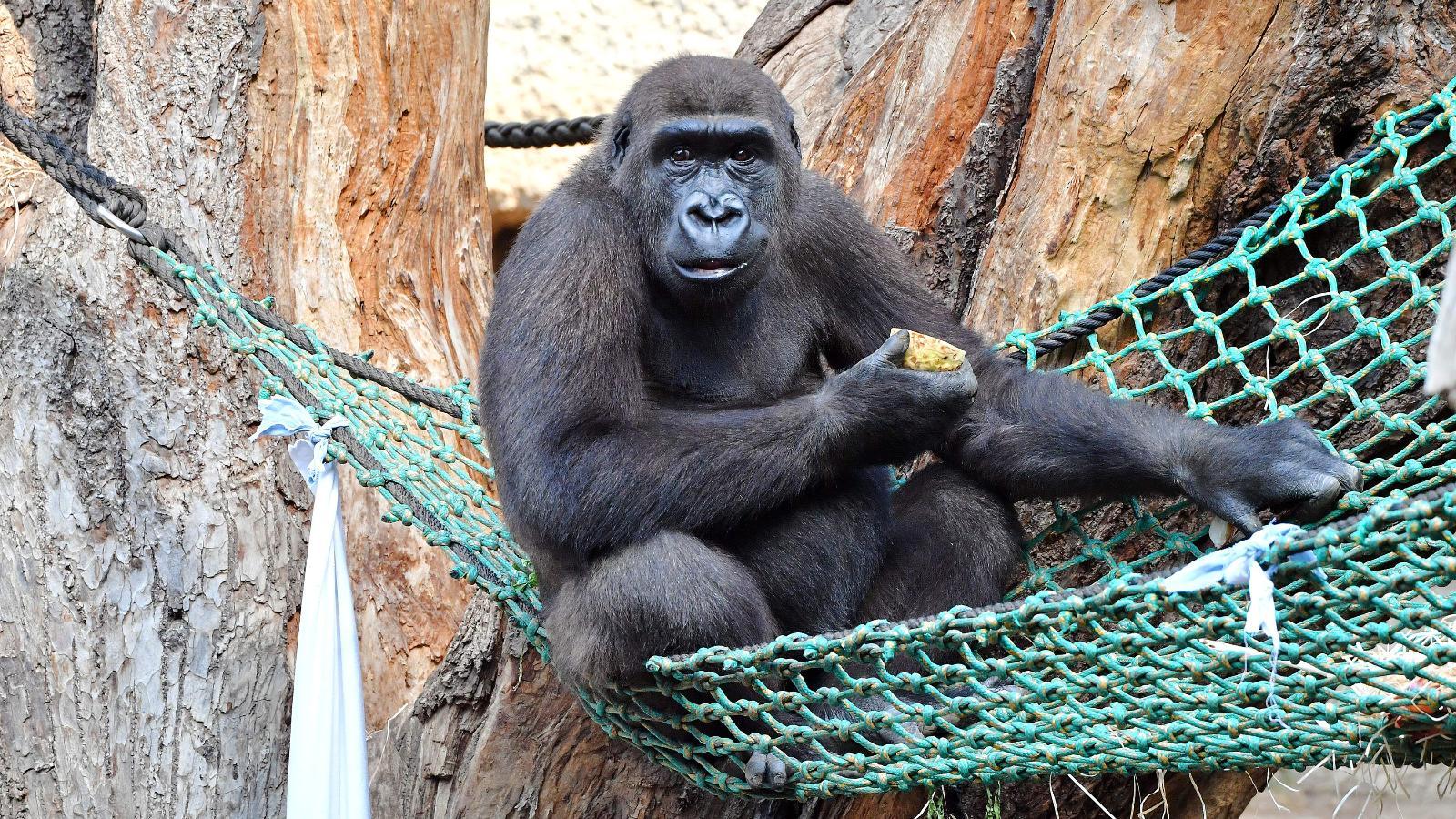 Jung-Gorilla Kwame. Foto: J. Kloock