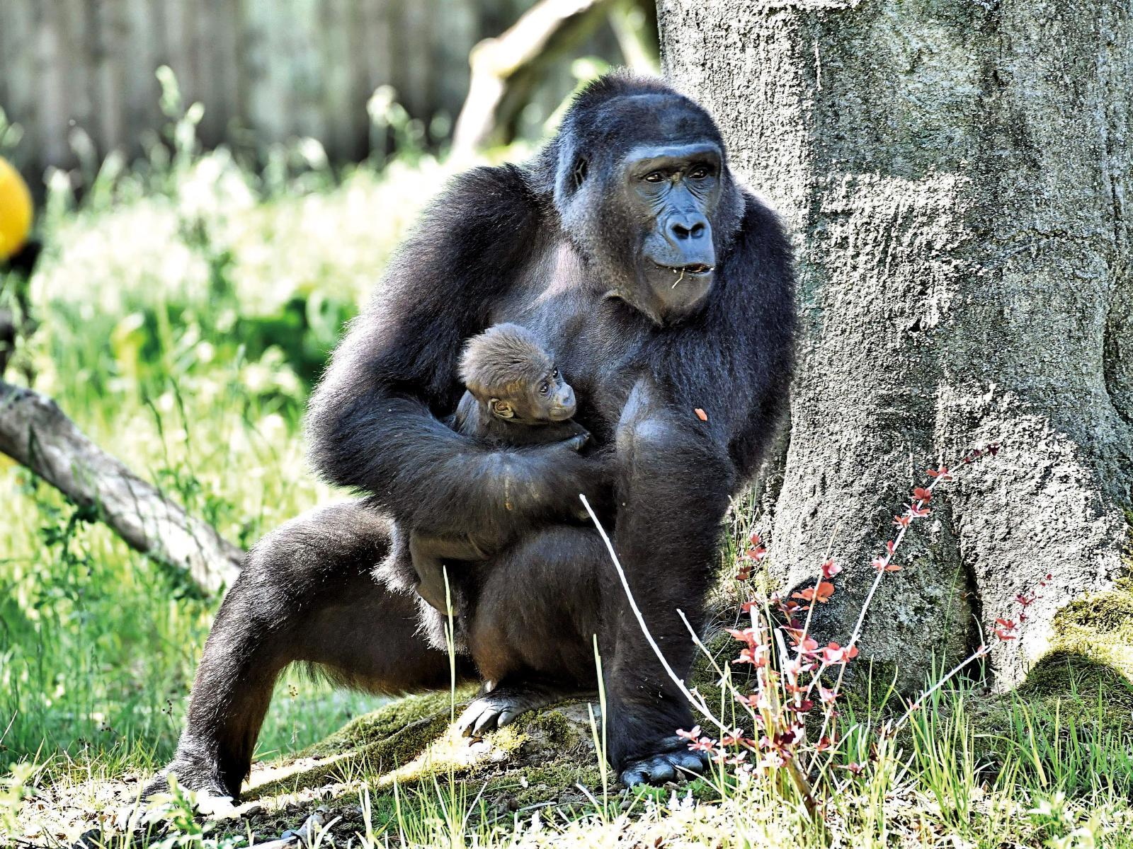 Nachwuchs im Rostocker Zoo: Kesha mit Mutter Yene