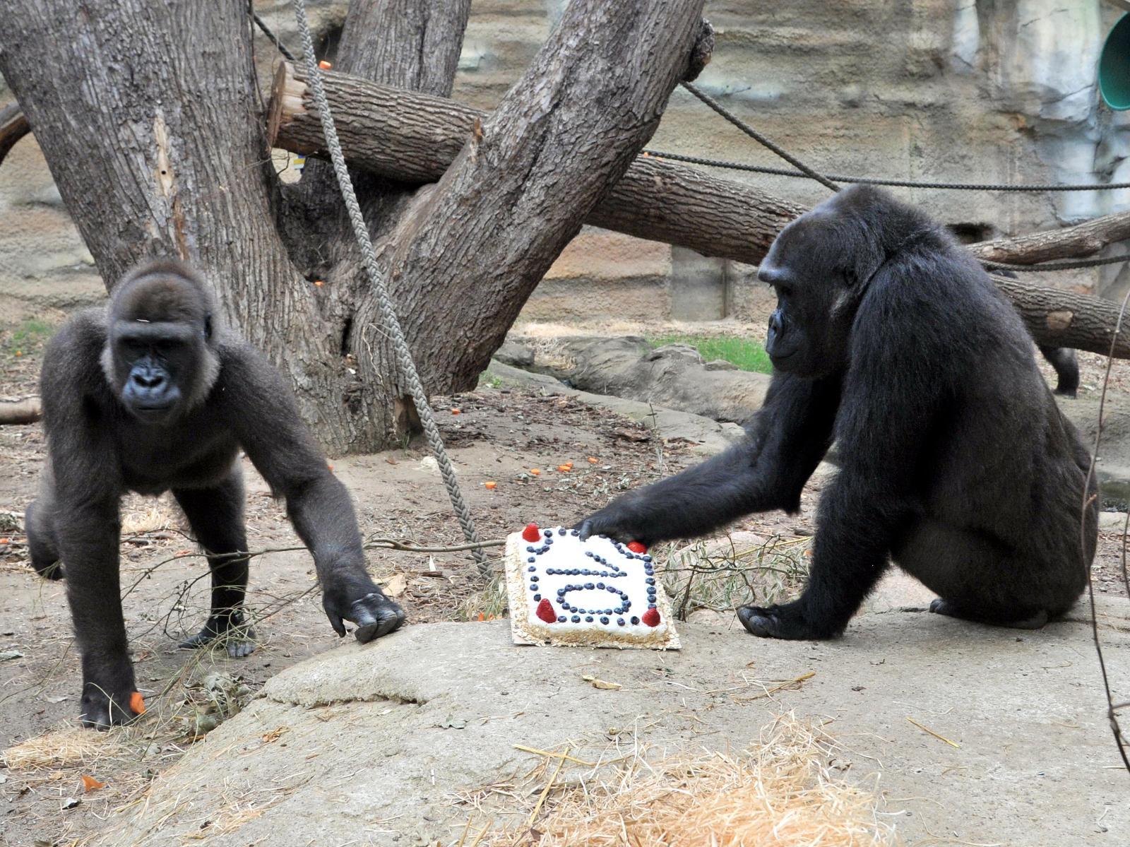 Die Gorilla Gruppe um Assumbo