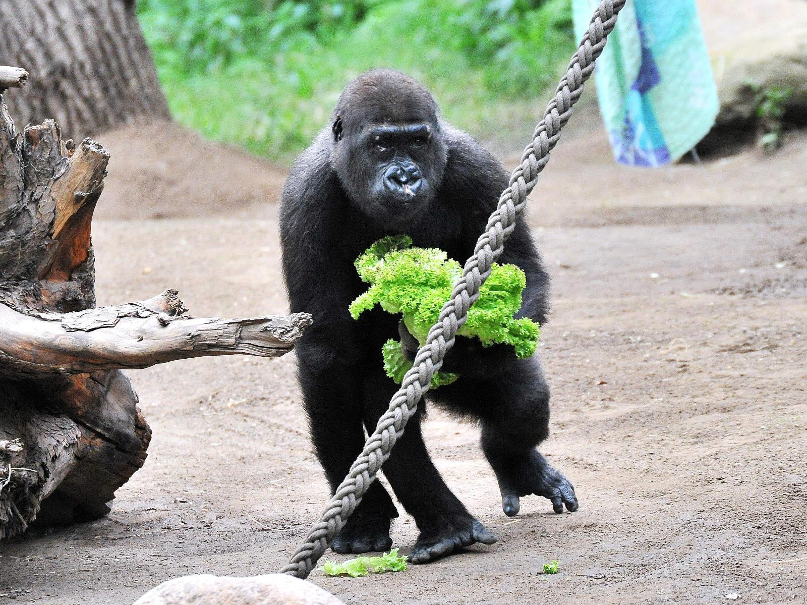 Gorilla Kwame