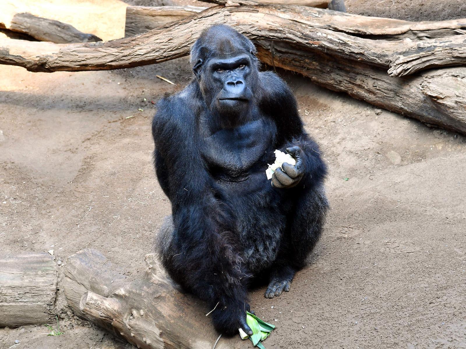 Gorilla Assumbo
